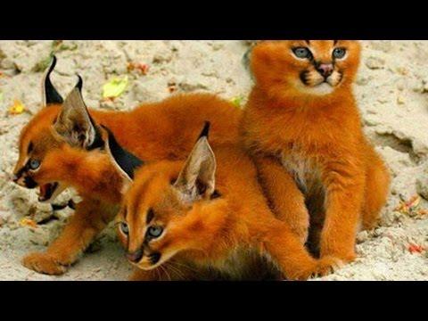 Die 5 Seltensten Katzenrassen der Welt!