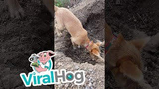 بالفيديو.. كلب يدفن أخيه الميت