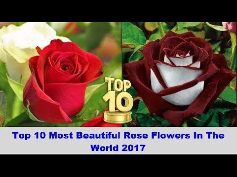 Top 10 Most Beautiful Rose Flowers In The World 2017