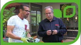 Fernsehgärtner Karl Ploberger pflanzt einen Kübel mit Johannisbeerstämmchen