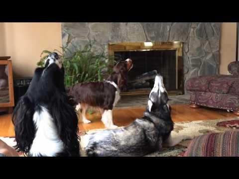 哈士奇與史賓格犬吵架飆高音,大聲就贏啦!