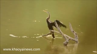 oriental darter getting dry at phu kieo wildlife sanctuary