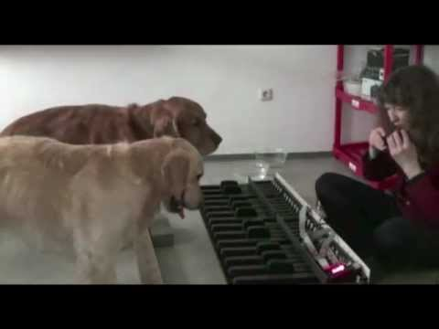 golden retriever playing piano