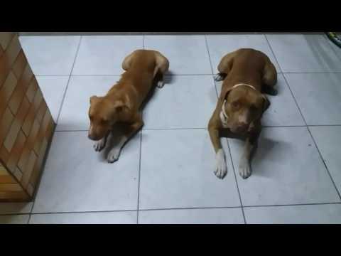 Video Como ensinar comandos senta/ deita. Para seu cão. Pitbull download in MP3, 3GP, MP4, WEBM, AVI, FLV January 2017