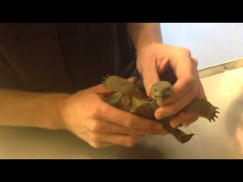 Medicating Turtles and Tortoises - Nasal Drops