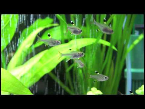 プリステラ 熱帯魚アクアリウムムービー