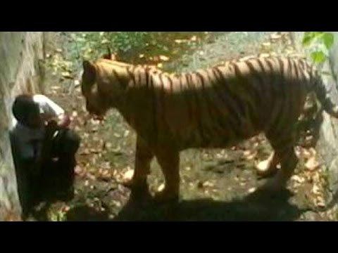 tiger - A white tiger at Delhi Zoo mauled to death a youth after he fell into its enclosure on Wednesday afternoon (September 23). Eyewitnesses said that the inciden...