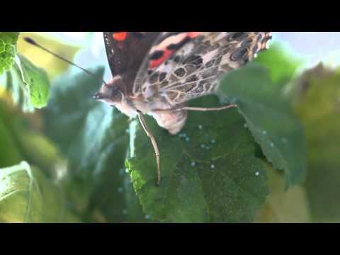 Vendita farfalle vive: uova, bruchi e crisalidi (spedizione possibile)