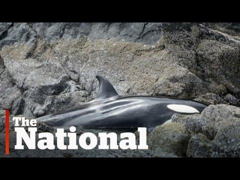 Orka strandt op rotsen, omstanders redden het dier