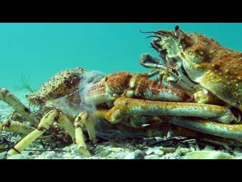 神奇!!實拍大蜘蛛蟹脫殼過程 網友:大開眼界啦