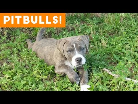 Funny clips - Ultimate Pitbull Compilation 2018  Cutest Funny Pitbull Videos Ever