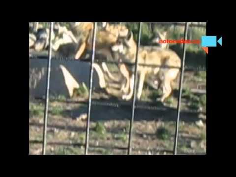 Vlčí rodina v zooparku Dvorec u Borovan 1.11.2015