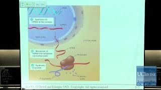 Bio Sci 93: DNA To Organisms. Lec. 5: Nucleus, Ribosomes And The Endomembrane System