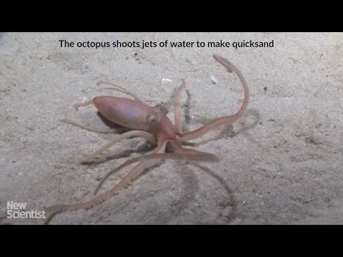 Octopus makes own quicksand to build burrow on