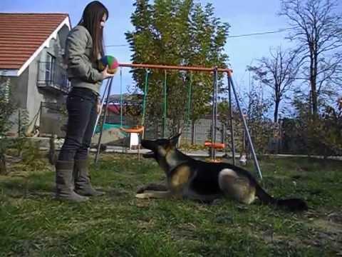 pastore tedesco addestrato, ubbidiente e giocherellone