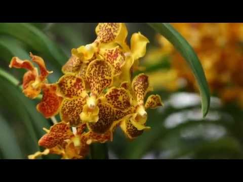Thai Orchids Slideshow