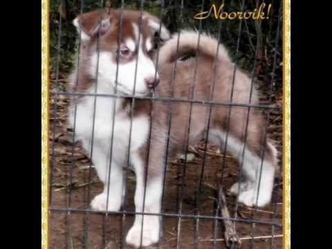 AKC Alaskan Malamute pup Available!