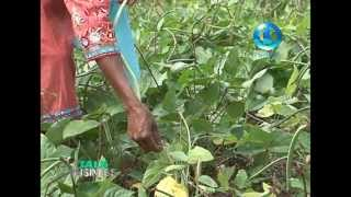Labasa Fiji  city photos : CASH CROP FARMING - LABASA, FIJI