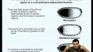 Mod-07 Lec-24 Gene Regulation During Drosophila Development