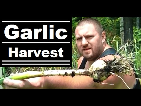 how to tell when garlic is ready to harvest
