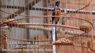 download lagu download musik download mp3 Langka Dan Unik  - Murai Batu  Medan Blorok Gacor Super Mahal - Harga Ratusan Juta