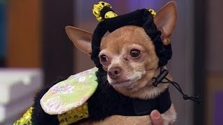 ¡De Miedo! Disfraza A Tu Mascota Este Halloween  -- Despierta América