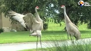 Cranes Do The Craziest Dance To Show They Care | The Dodo by The Dodo
