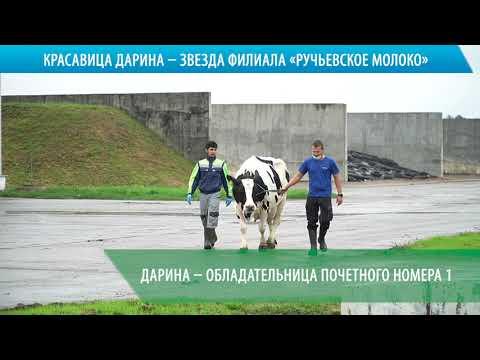 """Корова Дарина - звезда филиала """"Ручьевское молоко"""""""