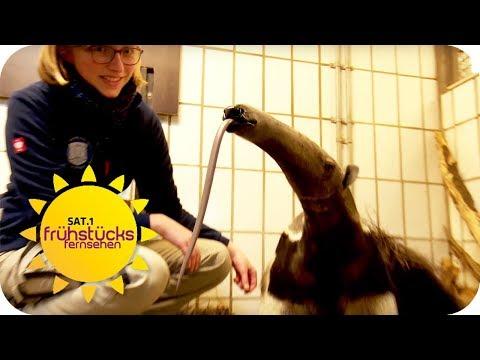 Dortmund: Ameisenbären-Nachwuchs Shakira im Zoo Dortmun ...