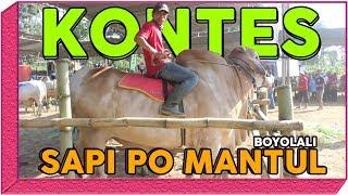 Video KONTES Sapi PO Super Extrem Boyolali Jawa Tengah MP3, 3GP, MP4, WEBM, AVI, FLV Agustus 2019