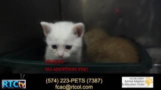 Fulton County Animal Shelter Kitten Alert