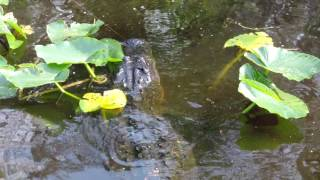 Lake Woodruff Gator (Alligator mississippiensis)