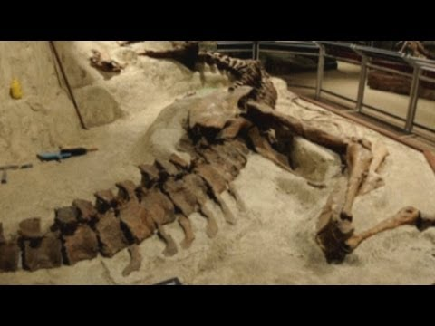At - Subscribe to ITN News: http://bit.ly/1bmWO8h The bones of a Tyrannosaurus Rex discovered in Montana in 1988 have been unveiled at the Smithsonian Natural His...