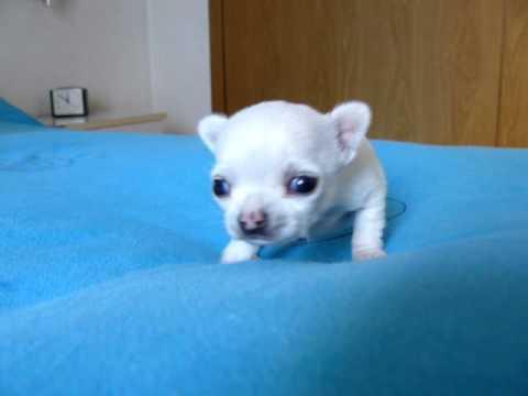 Cachorro Chihuahua de 20 dias – Puppy 20 days old