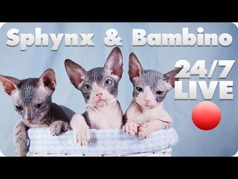 Sphynx and Bambino Kitten Live Cam