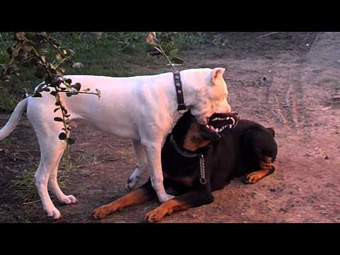 dogo argentino and rottwailer