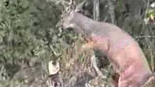 Quand le grand cerf attaque un petit chasseur ...
