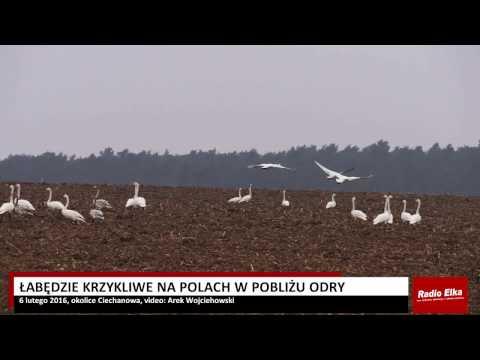 Wideo1: Łabędzie krzykliwe na polach w pobliżu Odry