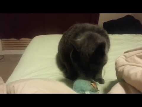 Chubby Cat playing with his toy and blankets! (видео)
