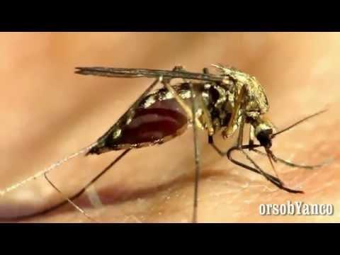 perchè le zanzare pungono?