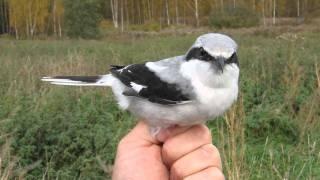 Video Great grey shrike (Varfågel, Lanius excubitor) MP3, 3GP, MP4, WEBM, AVI, FLV Agustus 2018