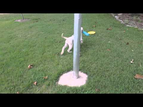 Molly- American Bulldog