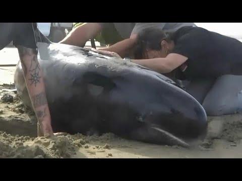 Αγώνας υπηρεσιών και εθελοντών στη Ν.Ζηλανδία για τη διάσωση φαλαινών…