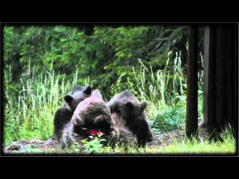 L'orsa allatta i suoi cuccioli in Val Rendena