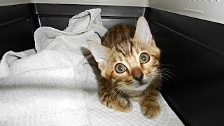 ベンガル猫の赤ちゃんが生まれてから12週間の成長記録、日本でもセレブに人気ということで話題に!!