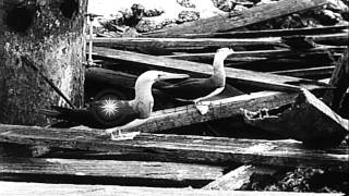 Link to order this clip: http://www.criticalpast.com/video/65675033678_various-birds_trees-sway_vegetation_icers Historic Stock Footage Archival and Vintage ...