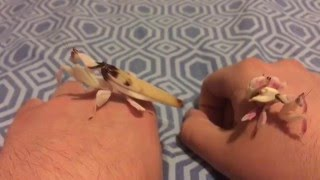 Hey guys, wanted to show you guys how I handle my adult orchid mantis. I also wanted to show you how different a subadult orchid mantis is from a full grown ...
