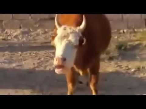 A talking cow.scolds--mluvící kráva.nadává