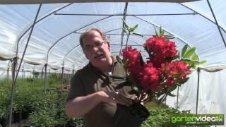 #1179 Rhododendron Hybride Busuki