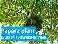257# पपीते में फल और फूल गिरने पर क्या करें ? || Papaya Plants Caring in Flowering Time